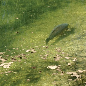In crystal clear water, in bright sunshine, it is likely that the carp can see in great detail and in a wide range of colours